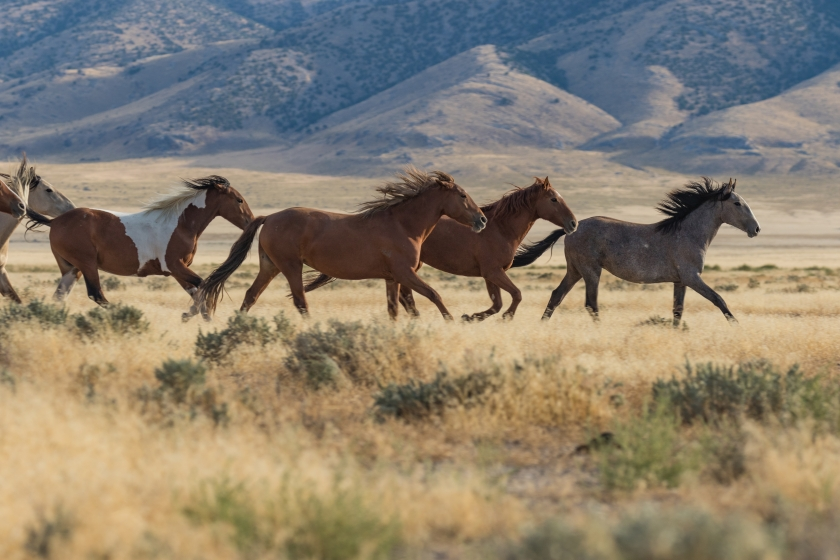 storyblocks-herd-of-wild-horses-in-utah_SBMleXuiCZ.jpg