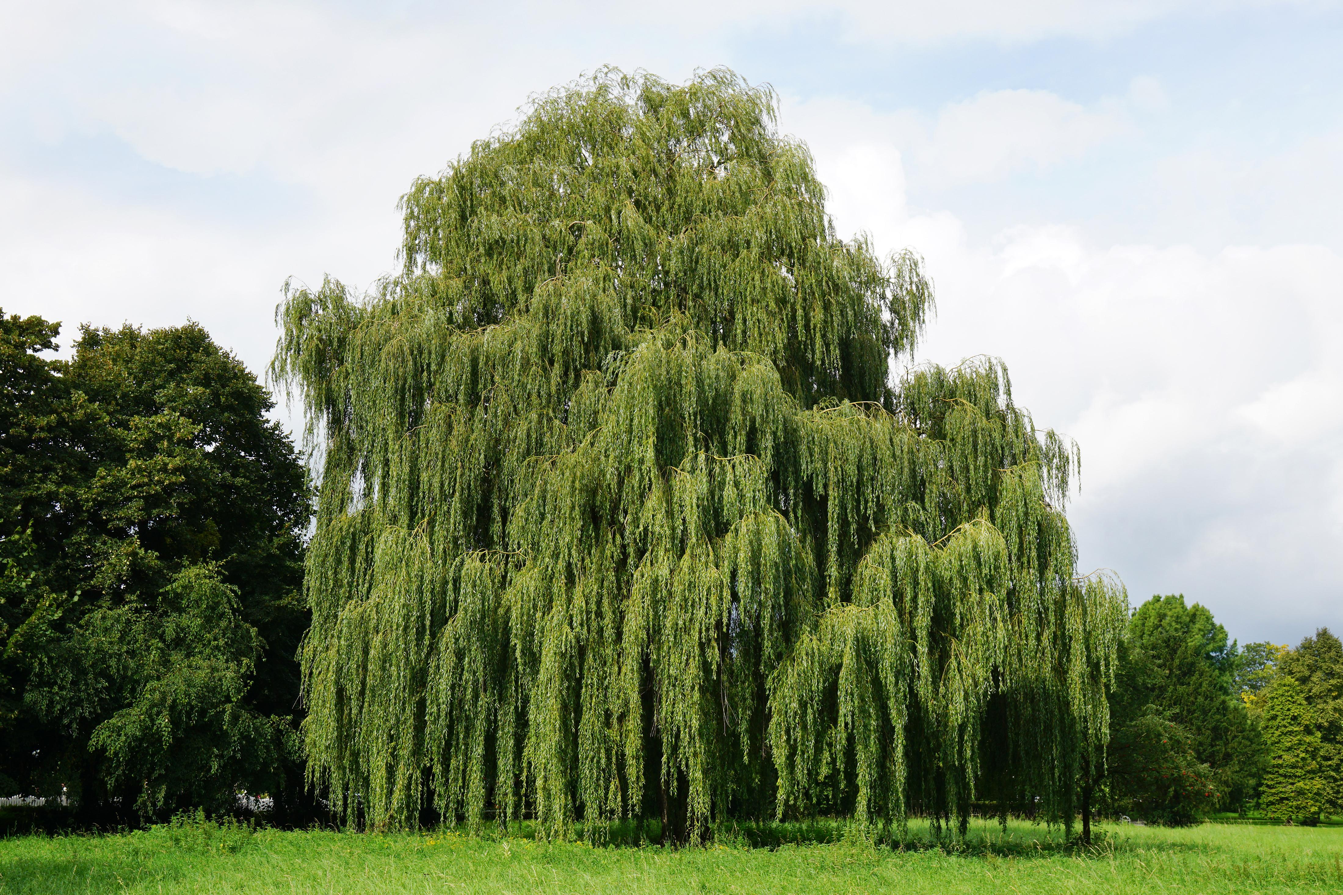 graphicstock-weeping-willow-tree-also-known-as-babylon-willow-or-salix-babylonica_HWlmVkKOvZ.jpg