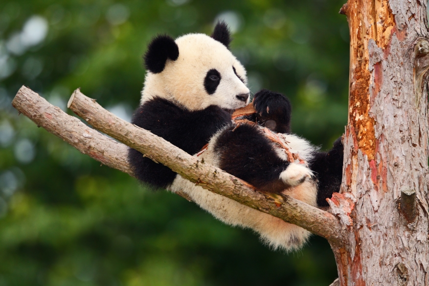 Funny Panda Bear. Comical young Panda Bear on the tree. Lying cute young Giant Panda feeding feeding bark of tree. Sichuan Giant Panda from China, Asia. Rare animal in the nature forest habitat.