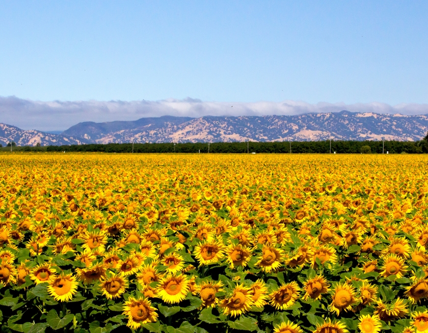 sunflowers-field_MJQz58KO.jpg